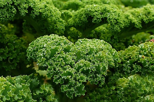 kale has many health benefits