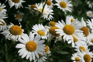 chamomile flowers health