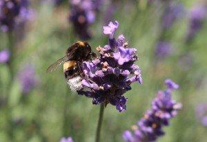 lavender bee benefits