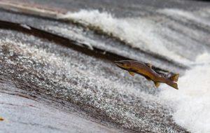 salmon swimming upstream in river