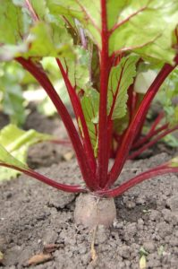 beetroot nutritious