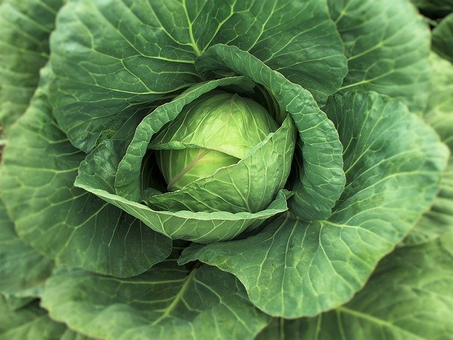 cabbage healthy
