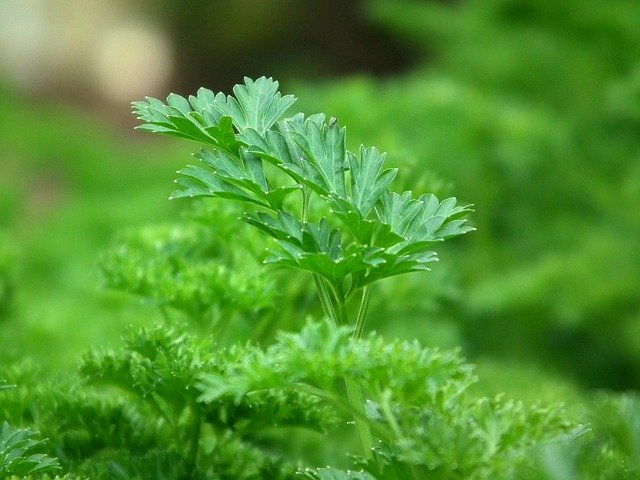 parsley healthy