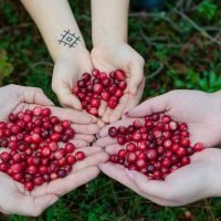 cranberries for juicing