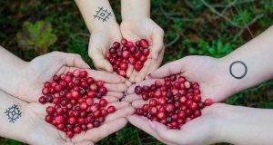 cranberries for juicing