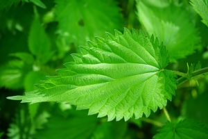 stinging nettle close up