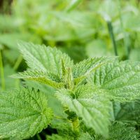 stinging nettles up close