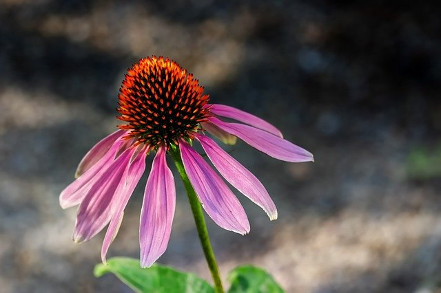 Echinacea Uses + 5 Remarkable Health Benefits - Healthy Hubb